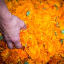 fleurs de calendula